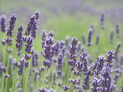 lavender-400x3001
