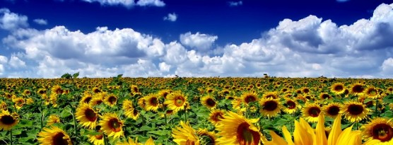 sunflower-field.jpg